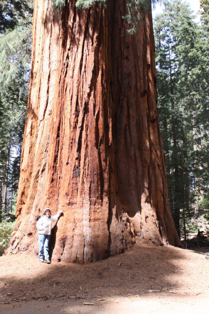 at the base of a medium-sized giant Sequoia on April 1, 2015, during the epic California drought